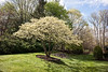 Side yard with dogwood in bloom - April 2016