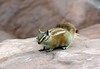 Hopi Chipmunk (Tamias rufus) - an omnivore, feeding on pine nuts, seeds, flowers, other vegetation, and insects