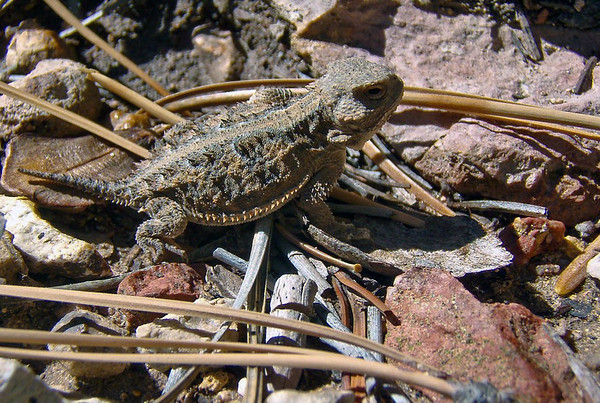 Mountain Short-Horned Lizard - (Phrynosoma hernandesi) - an insectivore (feeding primarily on ants) - Bryce Canyon National Park