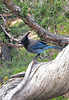 Steller's Jay (Cyanocitta stelleri) - perched on a Utah Juniper limb - Bryce Canyon National Park