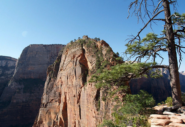 Beyond the Ponderosa Pine - to the summit of Angels Landing - with the summit of The Great White Throne, directly beyond - Zion National Park