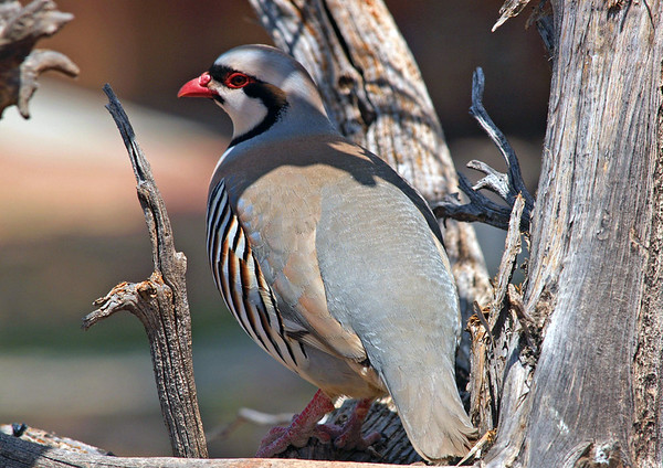 Chukar Partridge (Alectoris chukar chukar), perched in a dead Utah Juniper - an Eurasian upland gamebird in the pheasant family - introduced into the U.S. from the subspecies found from eastern Afghanistan to eastern Nepal - they are a rotund bird, measuring about 1 ft. (30 cm) in length.