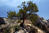 Singleleaf Pinyon (Pinus monophylla) atop Angels Landing - with Cable Mountain and The Great White Throne, along the horizon - Zion National Park