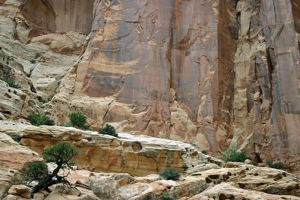 Utah Juniper (Juniperus osteosperma) growing from the eroded sandstone joints - below the sheer rock wall of Capitol Gorge - Capitol Reef National Park