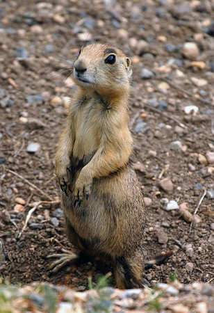 Utah Prairie Dog (Cynomys parvidens) - the smallest species of the prairie dogs, standing about 15 in. (38 cm) long, and weighing up to about about 3 lb. (1.4 kg) - Bryce Canyon National Park