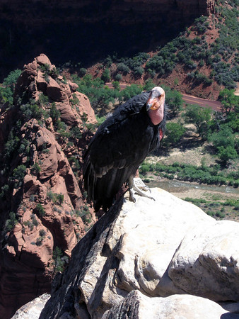 """California Condor (Gymnogyps californianus) - a """"Vulture"""" - its almost 9.8 ft. (3 m) wingspan is the largest of any North American bird, and its weight of up to 29 lb. (13 kg) makes it the heaviest terrestrial bird in North America as well (the Trumpeter Swan weighs a couple of pounds more). It is also, one of the world's longest-living birds, with a lifespan of up to 60 years.  Currently, this condor inhabits only the Grand Canyon area, Zion National Park, and coastal mountains of central and southern California and northern Baja California (with only a few hundred remaining on Planet Earth.  A particular characteristic of many vultures is a bald head, devoid of normal feathers. The condor (vulture) is a scavenger and eats large amounts of carrion - they will fly around 160 mi. (257 km) in a day, during their aerial search of large dead carcasses."""