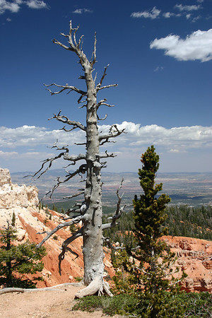 Great Basin Bristlecone Pine (Pinus longaeva) - the living and the dead, at the highest portion of the Bryce Canyon National Park, rising > 9,100 ft. (2,778 m), at the southern end of the park. This species of tree is the oldest known living non-clonal organism on Planet Earth (specifically Methuselah, which is > 4,800 years old, and is located in the White Mountains, Inyo National Forest (east of the Owens Valley, CA)