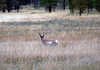 Pronghorn (Antilocapra americana) - endemic to interior western and central North America - atop the grassland of the Paunsaugunt Plateau - Bryce Canyon National Park.  Pronghorn once roamed the plains of North America in numbers second only to Bison - they are the fastest (about 57 mph - 92 km per hr.) land mammal on the North American continent and 2nd fastest mammalian runner on Planet Earth (behind the Cheetah, but ahead of the Blue Wildebeest).