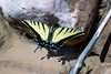 Western Tiger Swallowtail (Papilio rutulus) - wing span of about 4 in. (10 cm) - along the La Verkin Creek - Kolob Canyons District - Zion National Park
