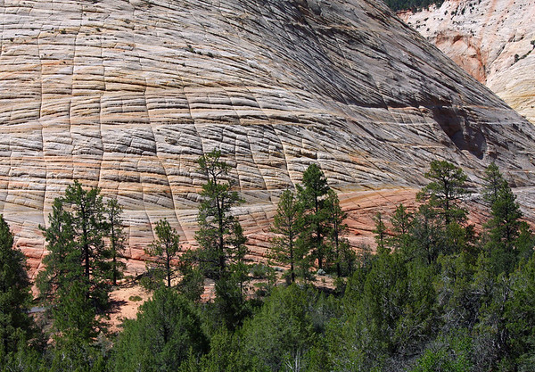 Through the Ponderosa Pines - to the lower northern sandstone slope of Checkerboard Mesa - Zion National Park