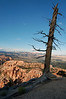 Pinyon Pine - its root system is normally as large as the above-ground part of the tree -  across the Ponderosa Ridge, in the Bryce Canyon National Park - and East Valley, to the Powell Point, at the southern end of the Aquarius Plateau (between the dead pine limbs).