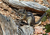 Golden-mantled Ground Squirrel (Spermophilus lateralis) - grows to about  1 ft. (30 cm) in length (including tail), - an omnivore, feeding on seeds, nuts, berries, insects, and underground fungi  - Bryce Canyon National Park