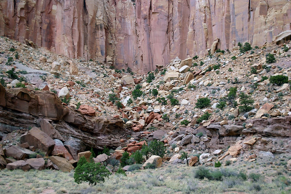 Utah Junipers - among the fallen sandstone boulders - at the base of Capitol Gorge - Capitol Reef National Park
