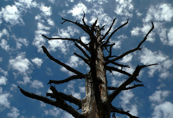 Up a dead Ponderosa Pine - into the altocumulus clouds - Bryce Canyon National Park
