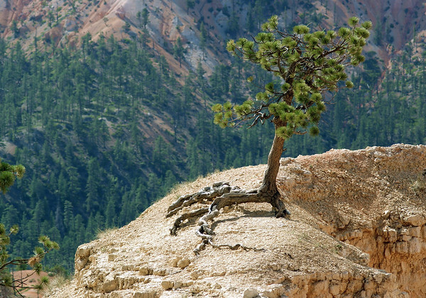 Pinyon Pine (Pinus edulis) - also called the Colorado Pinyon or Two-needle Pinyon - its root system is normally as large as the above-ground part of the tree - here the root system significantly exposed by the erosion along the limestone fin - Bryce Canyon National Park