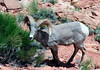 Desert Bighorn Sheep (Ovis canadensis nelsoni) - among the Mormon Tea (Indian Tea bush) - weights of mature rams range from 125-200 lb. (55-90 kg), while ewes are somewhat smaller - due to their unique padded hooves, bighorn are able to climb the steep, rocky terrain of the desert mountains with speed and agility - bighorn rely on their keen eyesight to detect potential predators such as mountain lions, coyotes, and bobcats, and they use their climbing ability to escape - both sexes grow horns