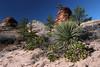Manzanita, an evergreen shrub with reddish orange colored branches) - Yucca angustissima (Narrow Leaf Yucca) - Pines - and Navajo sandstone - Zion National Park