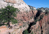 "From near the summit of Angels Landing - viewing northeast beyond the Ponderosa Pine, to the sedimentary sandstone slopes of Cathedral Mountain - with the narrow and shadowed Refrigerator Canyon below, separated by the north spine of Angels Landing, which ascends to ""The Pulpit"" - Zion National Park"