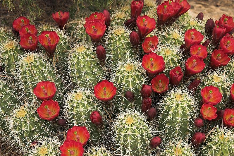 Claret Cup Cactus (Echinocereus triglochidiatus) - blooms and buds - Canyonlands National Park