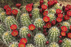 Claret Cup Cactus (Echinocereus triglochidiatus) - blooms and buds - Canyonlands National Park