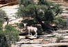 Desert Bighorn Sheep (Ovis canadensis nelsoni) - along the sandstone slope - Zion National Park