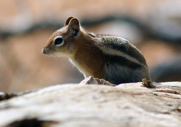 Golden-mantled Ground Squirrel (Spermophilus lateralis) - Bryce Canyon National Park