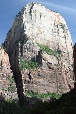 Pines and Junipers - growing along the angled ledges of The Great White Dome - with a > 2,000 ft. (610 m) vertical drop, from the rim's top edge to the floor of the Zion Canyon below - Zion National Park