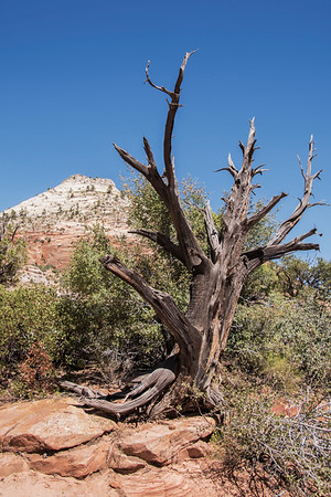 Zion National Park Weathered Tree