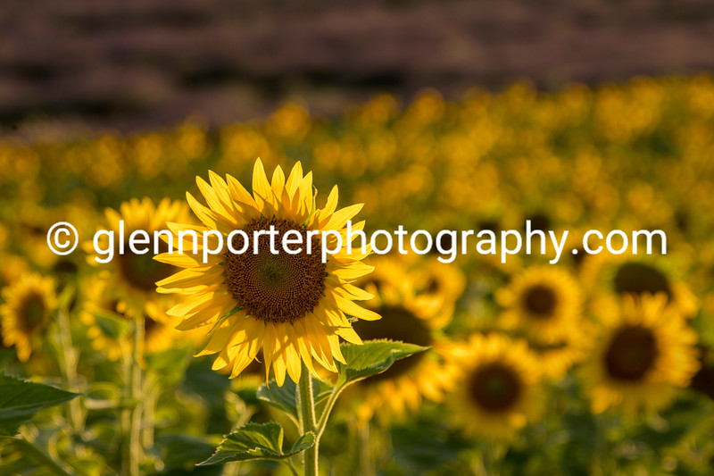 Sunflowers at Valensole, Provence, France.