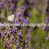 Common Blue butterfly in the lavender fields of Valensole, Provence, France.