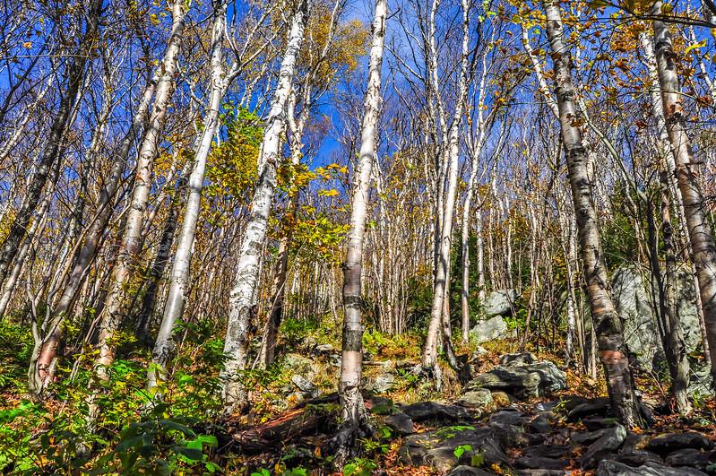 Mountain Birch Trees in Fall