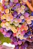 Napa Wine Grape Bunches 009 | Wall Art Resource