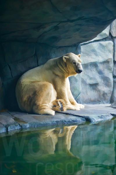 Lounging Polar Bear 002 | Wall Art Resource