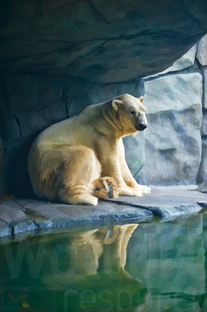 Lounging Polar Bear 002 | Wall Art Resource