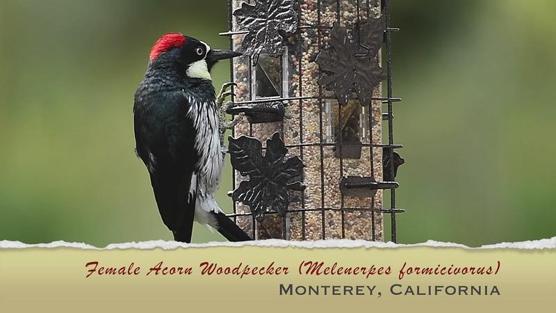 Female Acorn Woodpecker