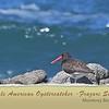 Female American Oystercatcher - Frazari Subspecies