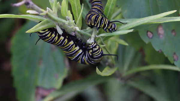 Caterpillars eating away