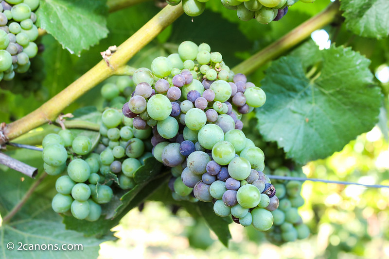 Pinot Noir on the vine at Domaine Carneros.