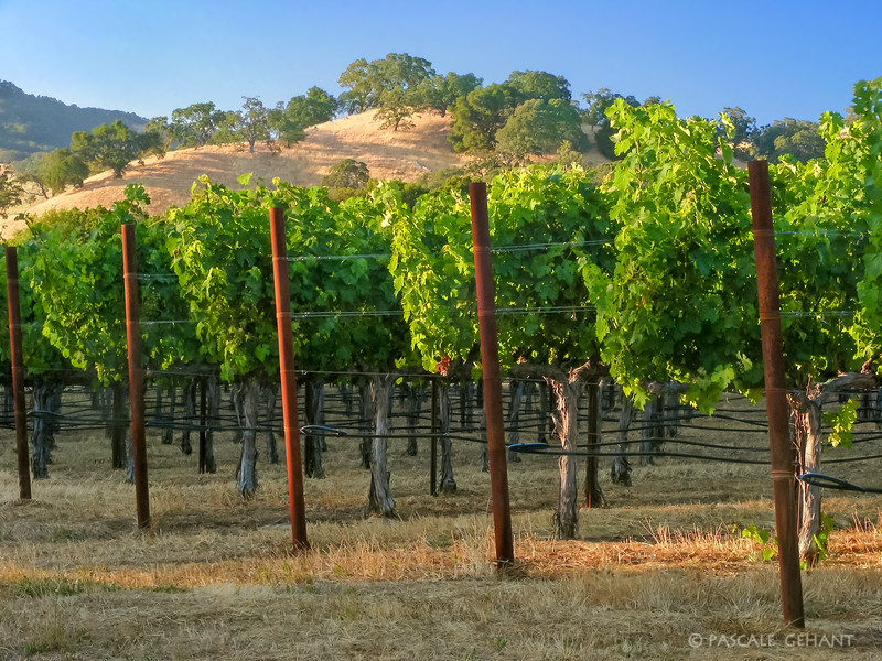 Rows of grapevines with hill