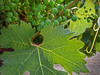 Young grape and leaf