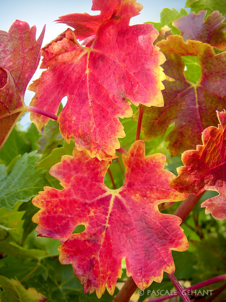Grape leaves in the fall
