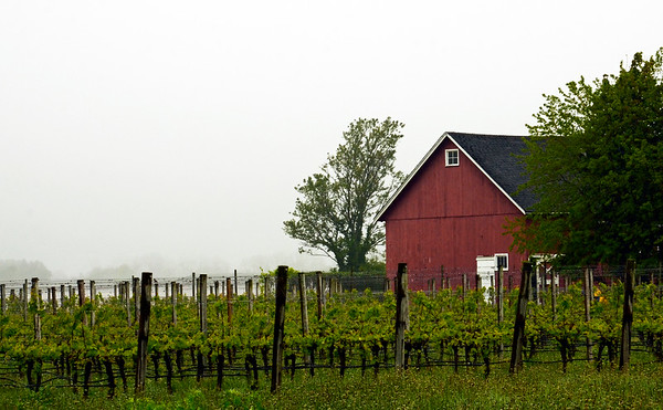 Foggy Morning at Pindar Vineyard, Peconic, NY