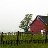 Foggy Morning at Pindar Vineyard, Peconic, NY