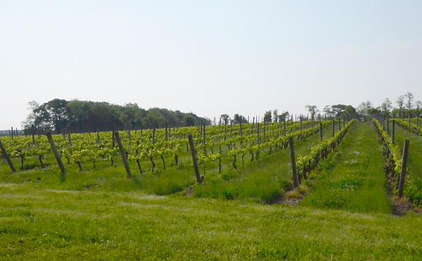 Pindar Vineyard, Peconic, NY