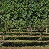 Private Vineyard, North Fork of Long Island, NY