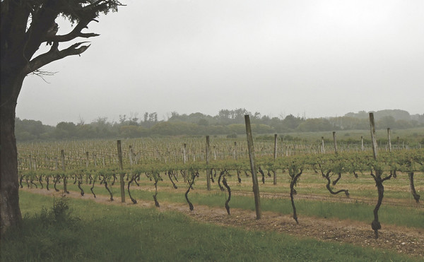 Fog over Private Vineyard, Cutchogue, NY