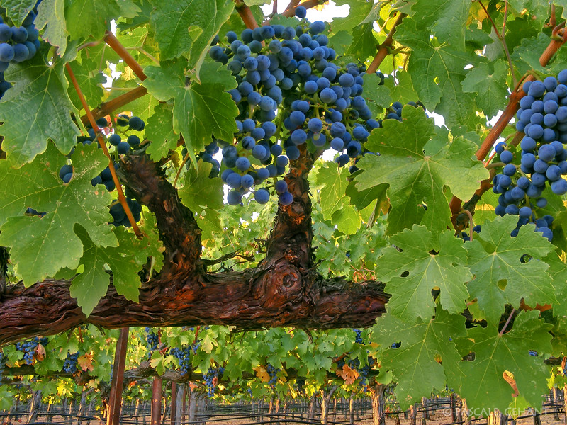 Grapes on vines 1