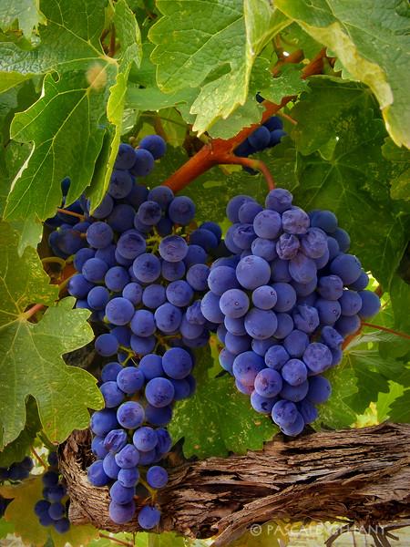 Grapes on vine 5