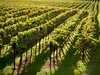 Rows of grapevines in the sun