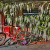 Wisteria and bicycle, Carmel Valley Ca.